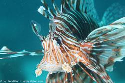 BD-120420-Fury-Shoal-5691-Pterois-miles-(Bennett.-1828)-[Devil-firefish.-Drakfisk].jpg